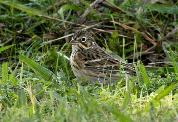 A vesper sparrow (Pooecetes gramineus) standing in shadowy grass (2009_10_31_035943)