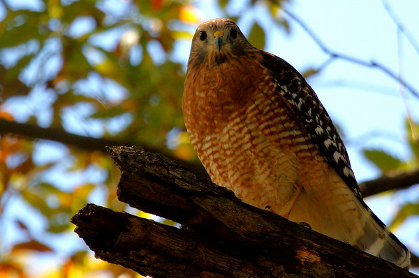 A red-shouldered hawk (Buteo lineatus) looking at me (2009_10_31_036080)