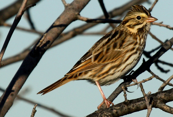 A Savannah sparrow (Passerculus sandwichensis) perched in a tree (2009_11_01_036354)