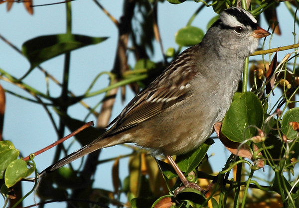 A white-crowned sparrow (Zonotrichia leucophrys) perched in brush (2009_11_01_036451)