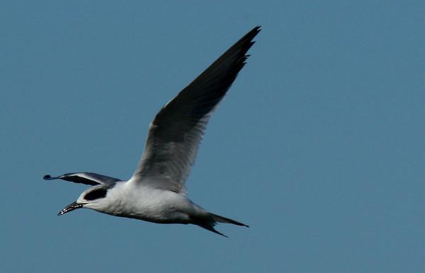 A Forster's tern (Sterna forsteri) flying overhead (2009_11_01_036572)
