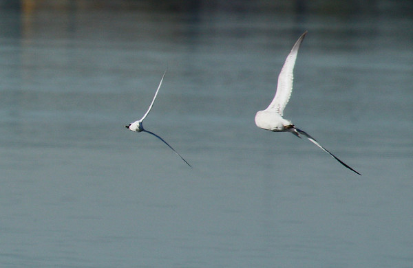 A Forster's tern (Sterna forsteri) being chased by a ring-billed gull (Larus delawarensis) (2009_11_01_036631)