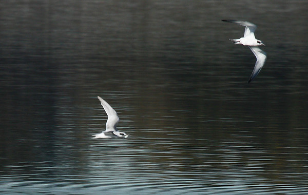 Two Forster's terns (Sterna forsteri) in flight (2009_11_01_036640)