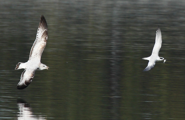 A Forster's tern (Sterna forsteri) being chased by a ring-billed gull (Larus delawarensis) (2009_11_01_036656)