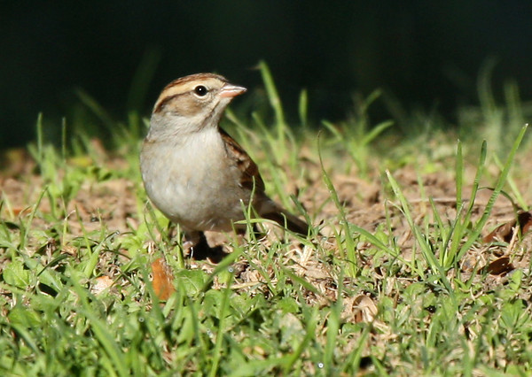 A chipping sparrow (Spizella passerina) standing in brightly lit grass (2009_11_01_036863)