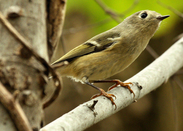 A ruby-crowned kinglet (Regulus calendula) perched on a small branch (2009_11_07_037173)