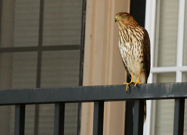 Juvenile Cooper's hawk (Accipiter cooperii) perched on a balcony railing (2009_11_07_037567)