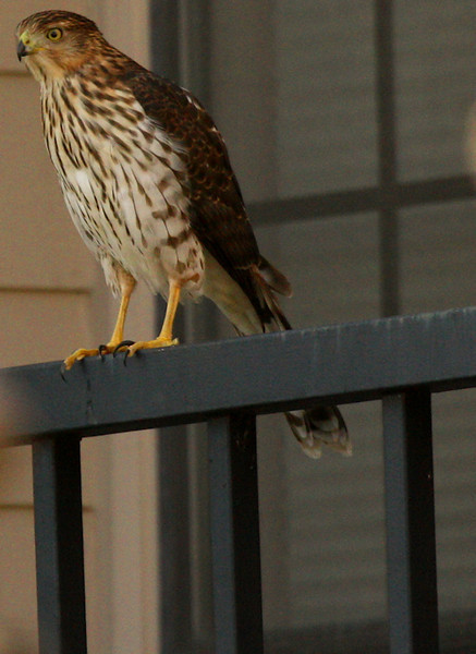 Juvenile Cooper's hawk (Accipiter cooperii) perched on a balcony railing (2009_11_07_037581)