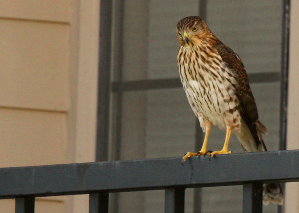 Juvenile Cooper's hawk (Accipiter cooperii) perched on a balcony railing (2009_11_07_037589)