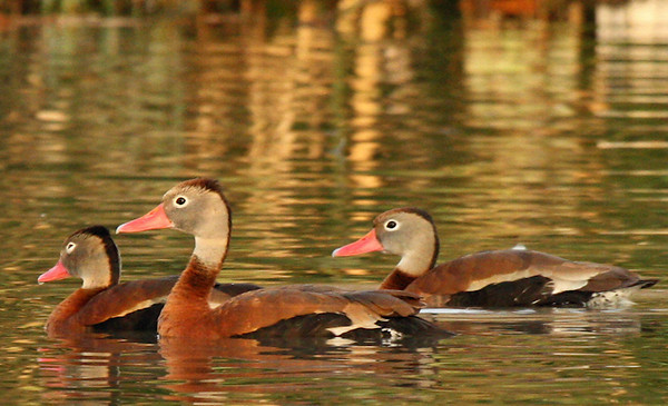 Black-bellied whistling-ducks (Dendrocygna autumnalis) swimming in the water (2009_11_14_038010)