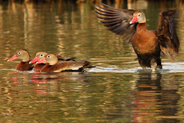 Black-bellied whistling-ducks (Dendrocygna autumnalis) in the water (2009_11_14_038038)