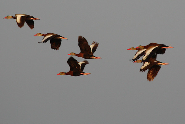 Black-bellied whistling-ducks (Dendrocygna autumnalis) flying away (2009_11_14_038080)