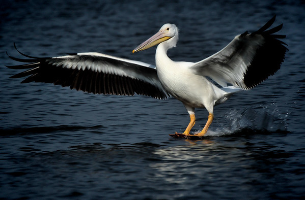 An American white pelican (Pelecanus erythrorhynchos) skiing into a landing on water (2009_11_14_038345)