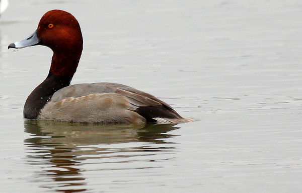 A male redhead (Aythya americana) swimming in White Rock Lake (2009_11_15_039836)