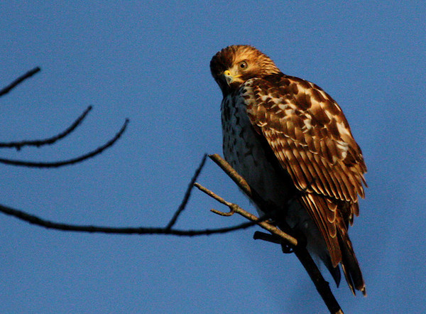 A juvenile red-shouldered hawk (Buteo lineatus) perched in a treetop (2009_11_26_040845)