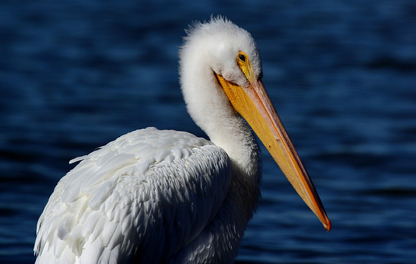 An American white pelican (Pelecanus erythrorhynchos) standing on the shore (2009_11_26_041712)