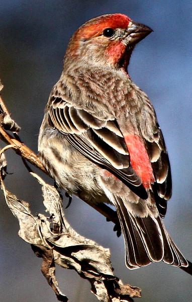 A male house finch (Carpodacus mexicanus) perched on a reed (2009_11_26_042079)