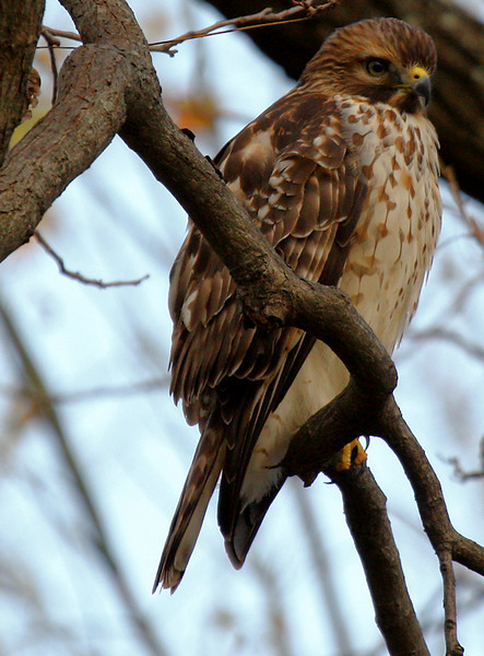 A juvenile red-shouldered hawk (Buteo lineatus) perched on a tree branch (2009_11_28_042486)
