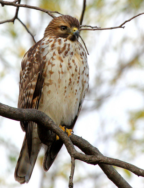 A juvenile red-shouldered hawk (Buteo lineatus) perched on a tree branch (2009_11_28_042491)