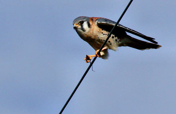A male American kestrel (Falco sparverius) perched on a wire holding prey (2009_11_28_042860)