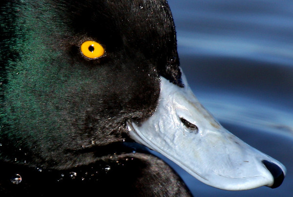 Close-up of a male lesser scaup (Aythya affinis) (2009_12_05_043449)