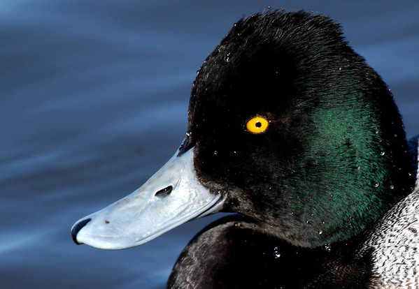 Close-up of a male lesser scaup (Aythya affinis) (2009_12_05_043460)
