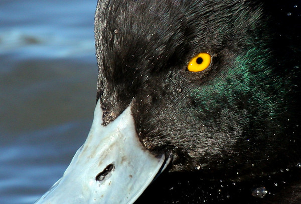 Close-up of a male lesser scaup (Aythya affinis) (2009_12_05_043463)