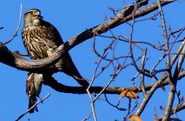 A merlin (Falco columbarius) perched in a tree with a male house sparrow clutched in its talons (2009_12_05_043552)