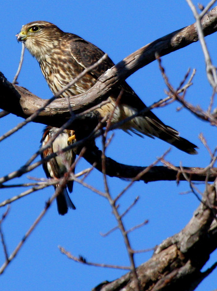 A merlin (Falco columbarius) perched in a tree with a male house sparrow clutched in its talons (2009_12_05_043592)