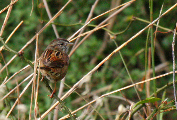 A swamp sparrow (Melospiza georgiana) perched on a vine (2009_12_13_043954)