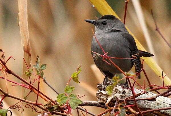 A gray catbird (Dumetella carolinensis) standing atop a bramble (2009_12_13_044164)