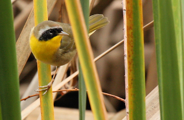 A male common yellowthroat (Geothlypis trichas) perched in reeds and looking at me (2009_12_13_044168)