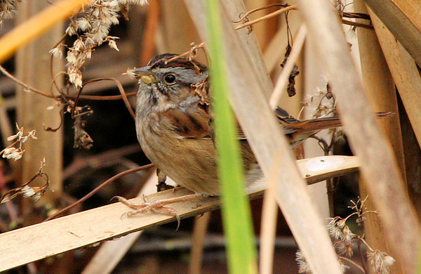 A swamp sparrow (Melospiza georgiana) standing in a reed bed eating seeds (2009_12_13_044177)