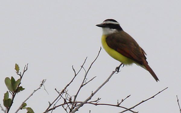 A great kiskadee (Pitangus sulphuratus) perched in a treetop (2009_12_13_044214)