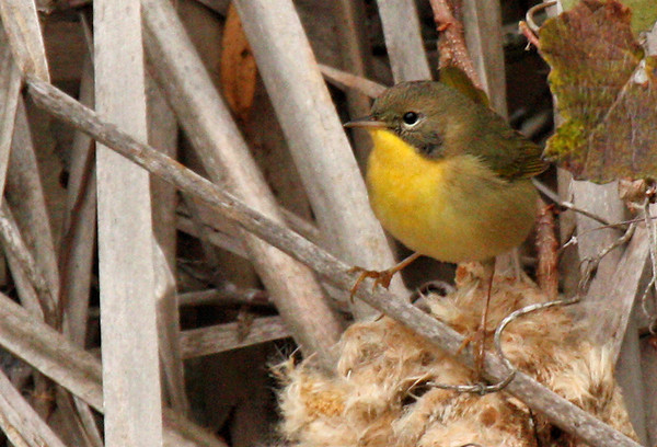 A female common yellowthroat (Geothlypis trichas) standing in a reed bed (2009_12_13_044231)