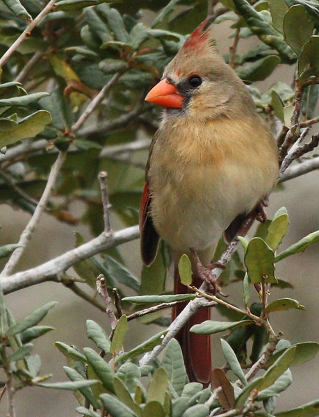 A female northern cardinal (Cardinalis cardinalis) perched in a tree (2009_12_13_044610)