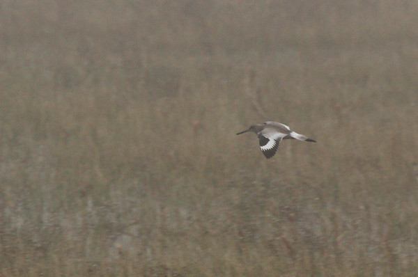 A willet (Tringa semipalmata) flying over a foggy marsh (2009_12_13_044741)