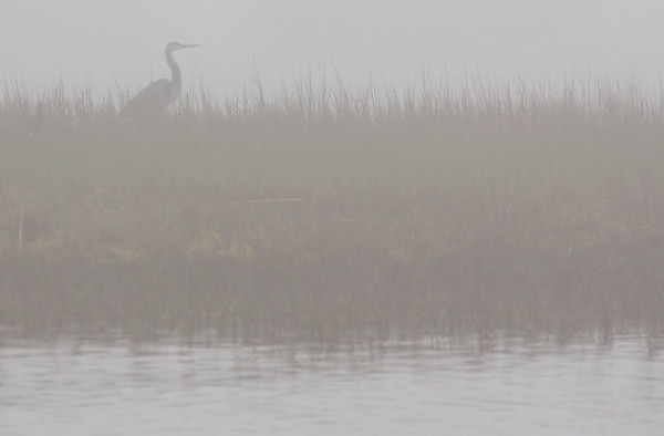 A great blue heron (Ardea herodias) standing on a salt flat in thick fog (2009_12_13_044764)