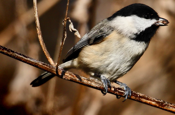 A Carolina chickadee (Poecile carolinensis) eating a seed (2009_12_19_044888)