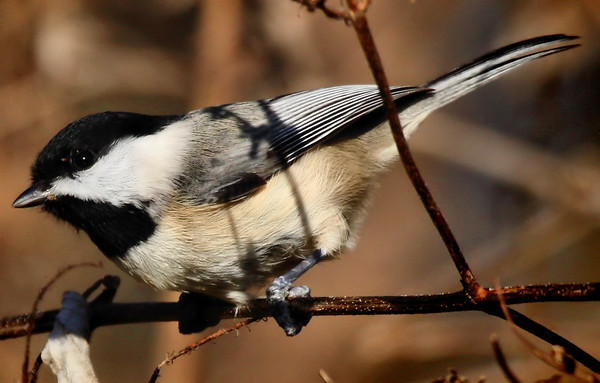 A Carolina chickadee (Poecile carolinensis) perched on a twig (2009_12_19_044914)