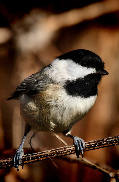A Carolina chickadee (Poecile carolinensis) perched on a dry reed (2009_12_19_044987)