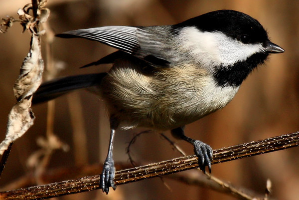A Carolina chickadee (Poecile carolinensis) perched on a dry reed (2009_12_19_044990)