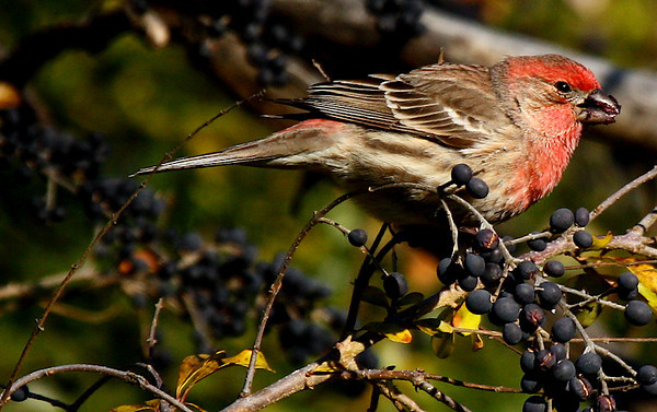 A male house finch (Carpodacus mexicanus) eating fruit (2009_12_20_045823)