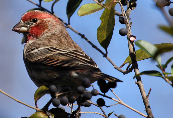 A male house finch (Carpodacus mexicanus) indulges in the fruit of blackhaw viburnum (Viburnum prunifolium) (2009_12_20_046028)