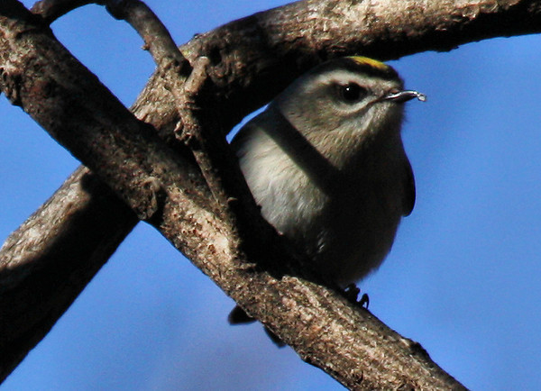 A golden-crowned kinglet (Regulus satrapa) perched in some branches holding a tiny insect in its beak (2009_12_20_046039)