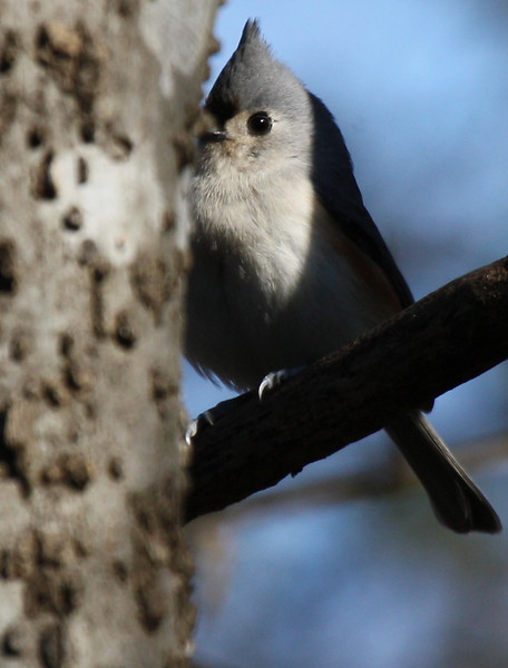 A tufted titmouse (Baeolophus bicolor) plays peekaboo (2009_12_20_046042)