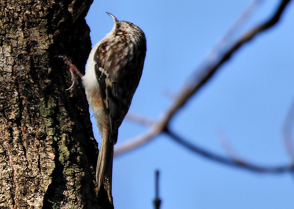 A brown creeper (Certhia americana) hanging on the side of a tree (2009_12_20_046060)