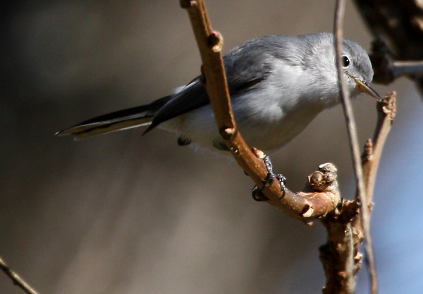 A blue-gray gnatcatcher (Polioptila caerulea) tries to play peekaboo and fails miserably (2009_12_20_046414)