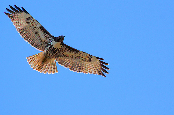 A red-tailed hawk (Buteo jamaicensis) in flight (2009_12_20_046498)