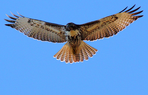 A red-tailed hawk (Buteo jamaicensis) in flight (2009_12_20_046505)